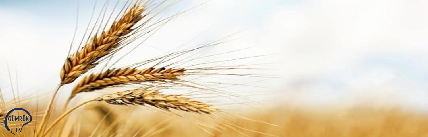 Buğday İhracatını Gümrük Vergisi Biçti