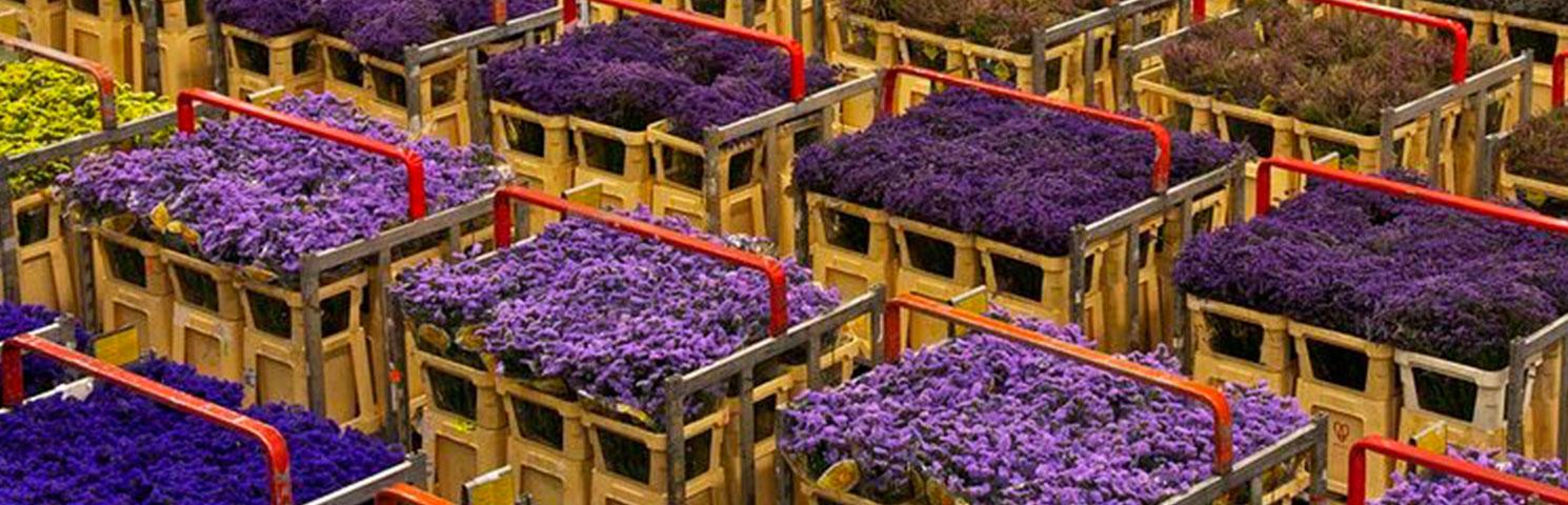 Hollanda Çiçek Borsası Referans Fiyatını Açıkladı