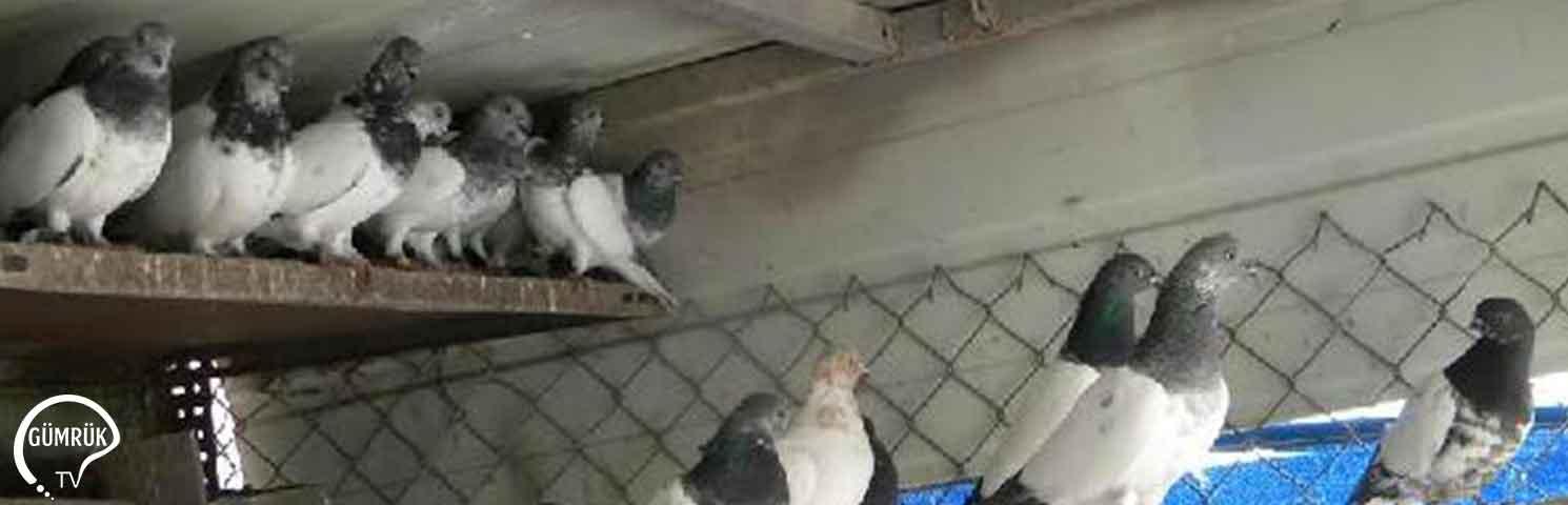 Gümrükte Ele Geçirilen Güvercinler Satışa Çıkarıldı