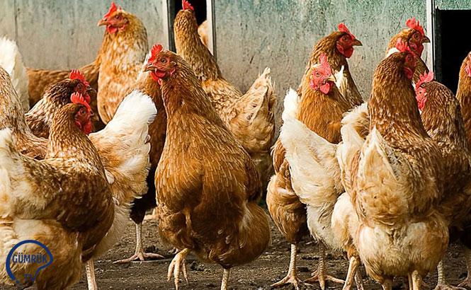 Tacikistan Kümes Hayvanı ve Eti İthalatı