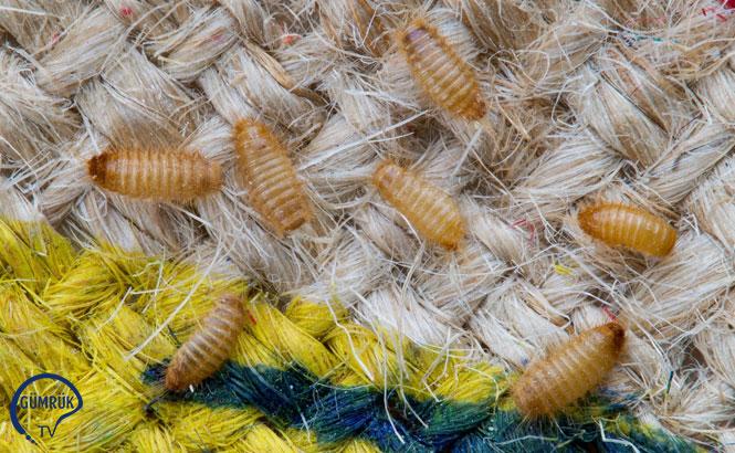 Avustralya'nın Khapra Böceği İle İlgili Aldığı Mücadele Tedbirleri