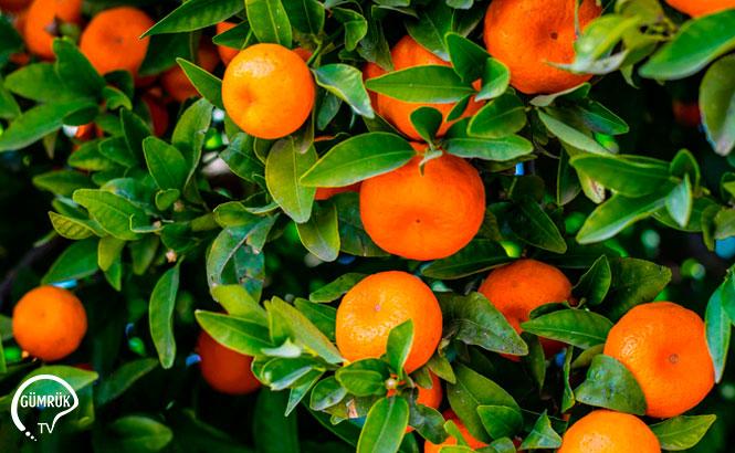 Portakal Kesim ve İhraç Tarihleri Belirlendi