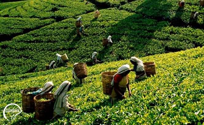 Yılın İlk 8 Ayında Çay İhracatı Yüzde 15 Arttı