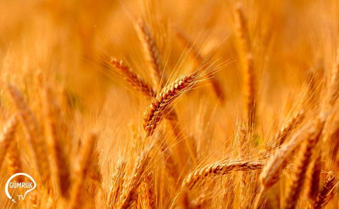 Ukrayna Buğday İhracatını Arttıracak