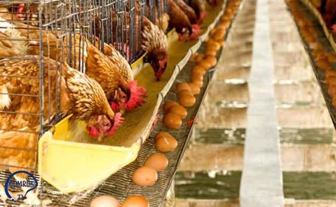 BAE Avrupa'dan Kuş ve Kümes Hayvanı Ürünleri İthalatını Yasakladı