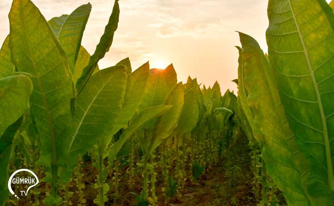 Tütün Mamullerinde İran, Yaprak Tütünde ABD İlk Sırada