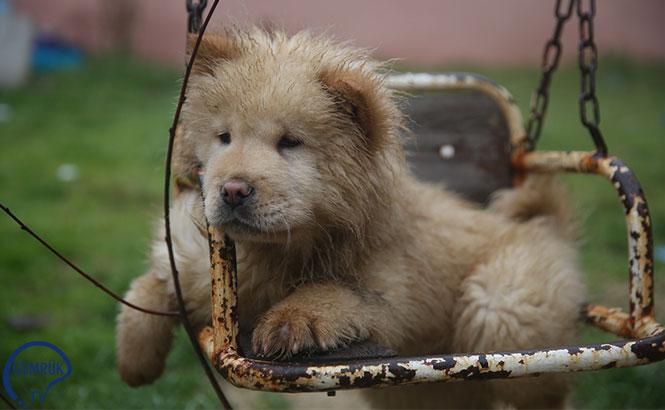 Kaçak Köpek Yavruları, Yeni Yılda İhale İle Sahiplendirilecek