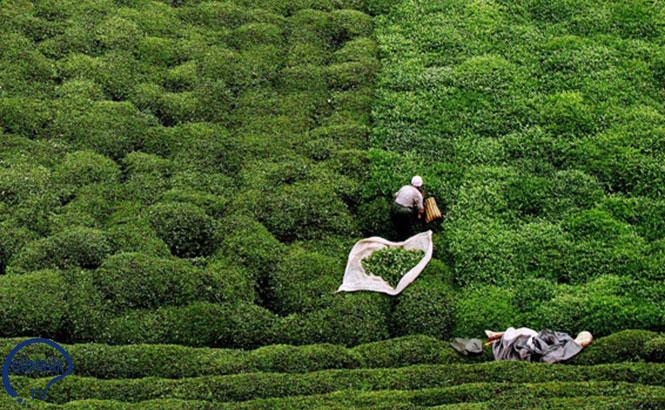 Doğu Karadeniz'den Çay İhracatı 12 Milyona Ulaştı