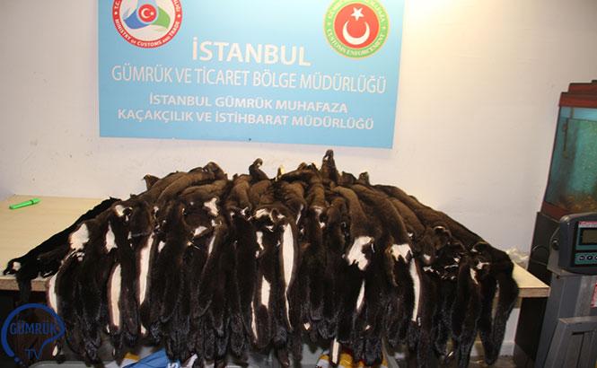 Atatürk Havalimanı'nda '200 Porsuk Kürkü, Gümrük Muhafaza Memurları Tarafından Ele Geçirildi