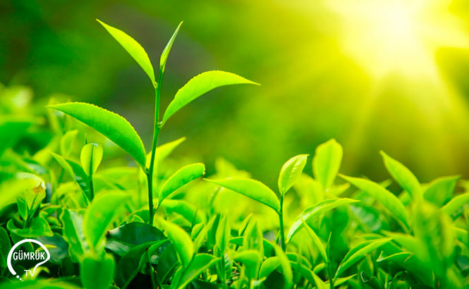 Bitki Sağlığı Sertifikası
