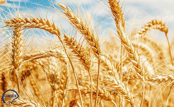 Rusya, Buğday İhracatında Dünyada Lider