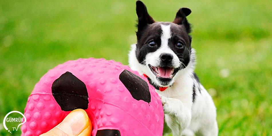 Evcil Hayvan Çiğneme Ürünlerinin Kanada'ya İhracatında Sağlık Sertifikası
